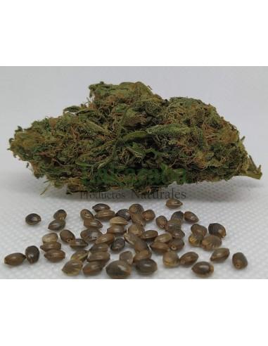 Semilla Pine Earth